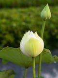 White Lotus Boom Stock Photo