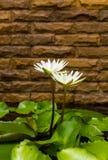 White lotus brick wall Royalty Free Stock Photography