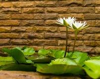 White lotus brick wall Stock Image