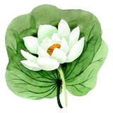 White lotus flower with green leaf. Watercolor background illustration set. Isolated lotus illustration element. White lotus bud. Floral botanical flower with vector illustration