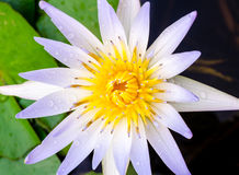 White lotus. Close up the white lotus Stock Photo