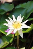 White lotus. Close up with lotus leaf and water background stock images