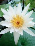 White Lotus stock image