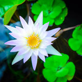 White lotus closed up Royalty Free Stock Photos