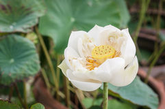 White Lotus Closeup Royalty Free Stock Photo