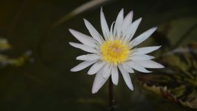 White lotus in clundy day stock video