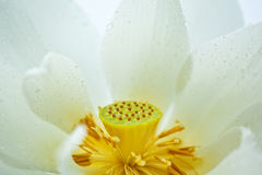 White Lotus detail Royalty Free Stock Photography