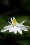 White Lotus with dewdrop. Over dark background in the morning Stock Photo