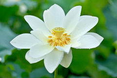 White Lotus and dewdrop Royalty Free Stock Photography