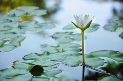 White lotus. Floating white lotus in pond Stock Images