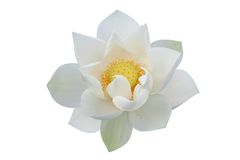 White lotus flower. Isolated on white background Stock Photography