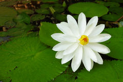 White lotus flower. Beautiful white lotus flower blossoming in pond Stock Photos