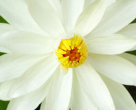 White lotus flower Royalty Free Stock Images