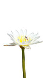 White lotus flower Stock Photography