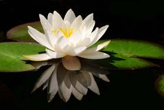 White lotus flower Royalty Free Stock Photography