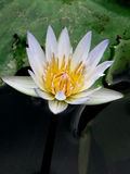 White Lotus Flower. Blossom at its Peak Royalty Free Stock Image