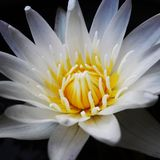 White lotus. Flower Royalty Free Stock Images