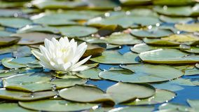 Free White Lotus Flower And Lush Foliage In Natural Lake Stock Photo - 159779770