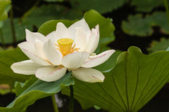 White lotus flower in bloom Stock Images