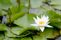 White Lotus flower bloom in pond,water lily in the public park. White Lotus flower bloom in pond,water lily in the public park and green leaves surrounding Stock Photos