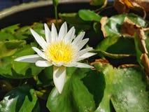 White Lotus Flower. Blooming White Lotus Flower early Morning Stock Images