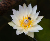 White lotus flower blossom with bee Royalty Free Stock Photography