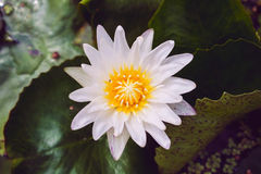 White Lotus Flower Stock Photos