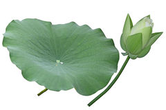 White Lotus Flower. Bud and leaf isolated on background Stock Images