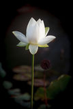 White Lotus Flower Carroll Creek Frederick Maryland. A solitary white long-stemmed lotus flower blooming in the Carroll Creek water garden in downtown Frederick Stock Photo