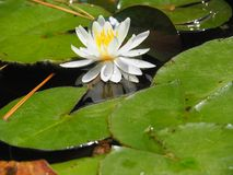 White Lotus flower clear day royalty free stock images