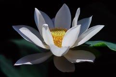 White lotus flower. Close up of single blooming white lotus flower Stock Images