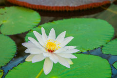 White lotus flower. Close up white waterlily or lotus flower Royalty Free Stock Image