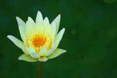 White lotus flower. Detail of White lotus flower Stock Photo