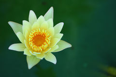 White lotus flower. Detail of White lotus flower Stock Image