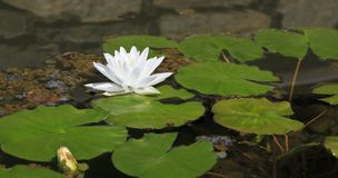 White Lotus Flower Floating on Surface of Pond. White water lily floating with lily pads on surface of pond stock photography