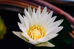 White lotus flower in garden royalty free stock images