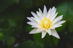 White lotus flower and green leaves Stock Images
