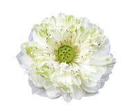 White lotus flower isolated Royalty Free Stock Image