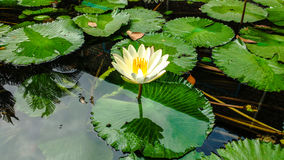 White lotus Royalty Free Stock Image