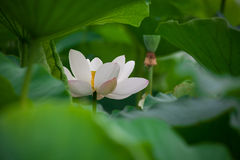 White lotus flower Royalty Free Stock Images