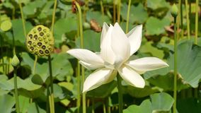 White Lotus Flower. Beautiful colors. stock video footage