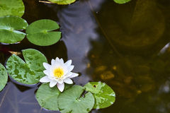 White lotus flower and  Leaf Stock Photo
