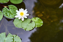 White lotus flower and  Leaf Stock Images