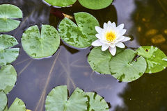 White lotus flower and  Leaf Royalty Free Stock Photos