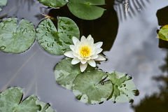 White lotus flower and  Leaf Stock Image