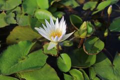 White lotus flower with leaves royalty free stock images