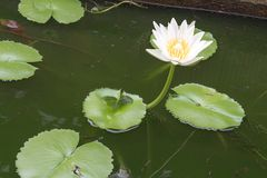 White lotus flower and lotus Leaf,water lily Stock Images