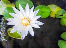 White lotus flower in morning light Stock Image