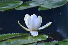 White lotus flower. The white lotus flower lotus from the Nelumbo family are seen as meaning purity and devotion stock images