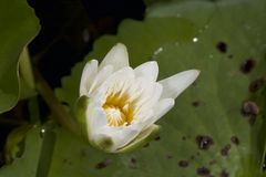 White lotus flower. Stock Photo